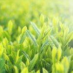 煎茶って日本茶?煎茶と日本茶の違いと甘みあるお茶の入れ方について